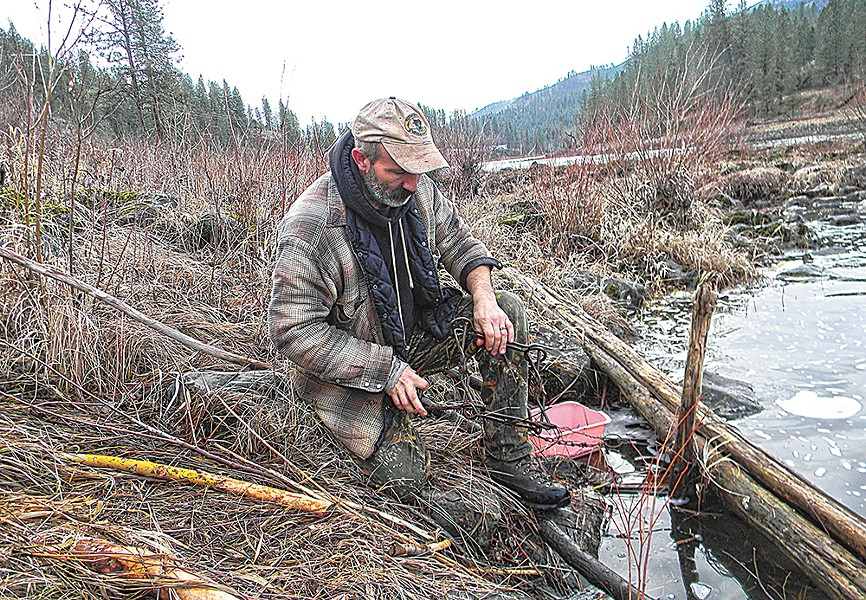 David Busta sets a trap for beaver along the Clearwater River. Trappers say these traps are humane, but critics complain that they can also capture threatened species. - JAKE THOMAS