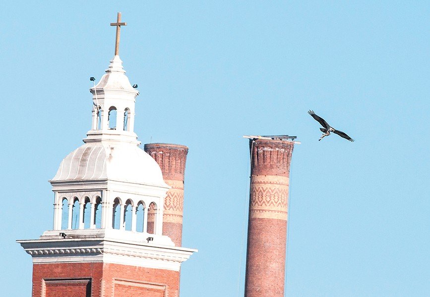 On the evening of June 21, an osprey carries a large sucker fish past the Steam Plant and the Cathedral of Our Lady of Lourdes in downtown Spokane. - DANIEL WALTERS