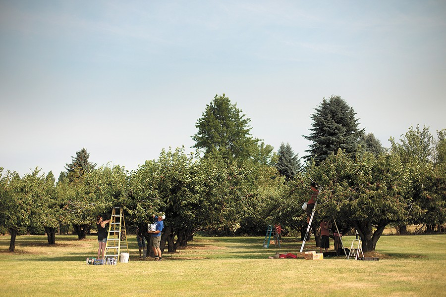 Volunteers pick cherries intended for Second Harvest. - YOUNG KWAK