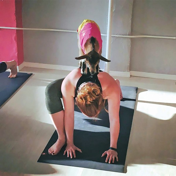 A baby goat perches on an attendee's back at FatGirl Yoga. - HAPPY HOMESTEAD PHOTO
