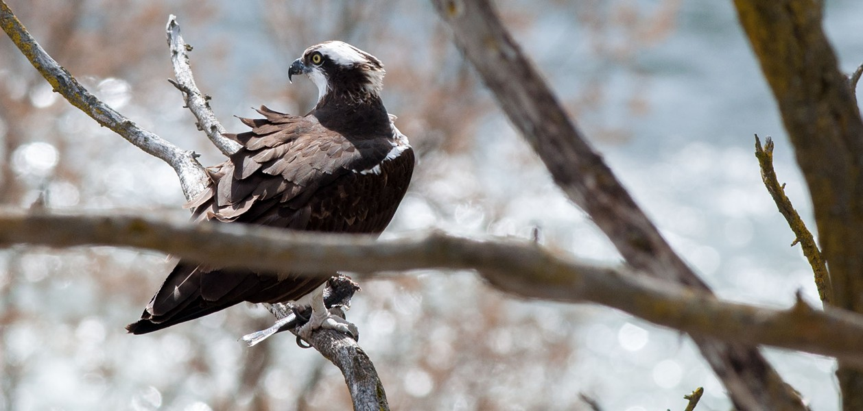 The osprey's totally going to be microwaving that fish at the office later. - DANIEL WALTERS PHOTO