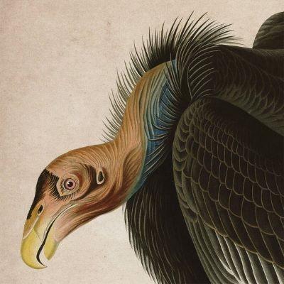 audubon_condor_image.jpg