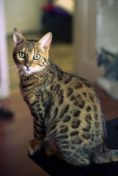 The Bengal cat is beloved for its outgoing personality and stunning, spotted coat.