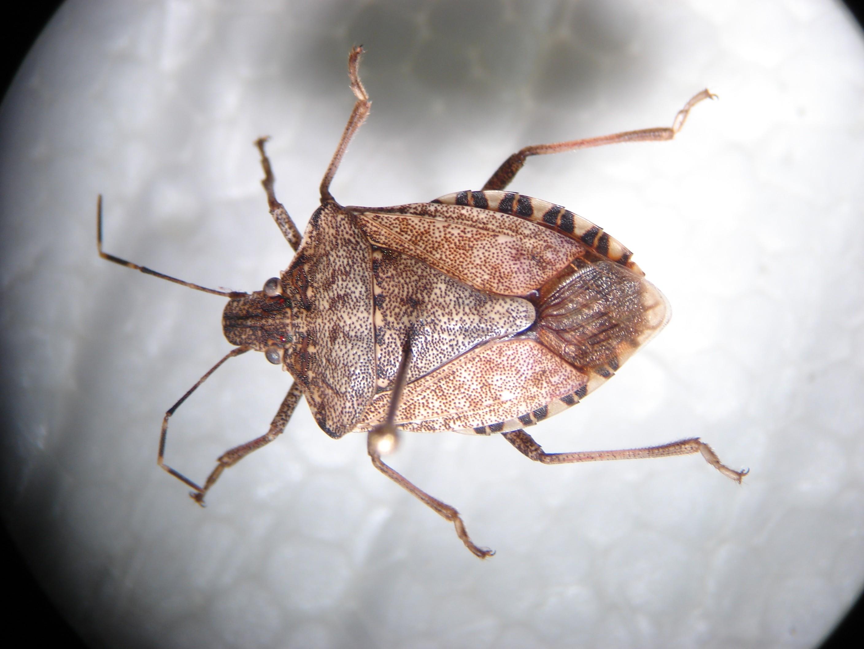 Invasion! Washington state under siege from the stink bug