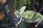 A rescued chameleon, whose previous owner named Rafiki, is photographed at Reptile Domicile in Spokane, Wash., Friday, June 15, 2018. (Young Kwak/The Inlander)