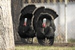An estimated 250 wild turkeys call Spokane's South Hill home.