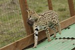 1-year-old serval Boomer holds a chicken in his mouth at his enclosure at Savannah Exotics in Oakesdale, Wash., Wednesday, March 21, 2018.