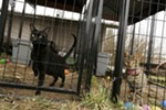 4-year-old black melanistic F5 Savannah Gui, left, and 4-year-old F3 Savannah Safari stand in their enclosures at Savannah Exotics in Oakesdale, Wash., Wednesday, March 21, 2018.