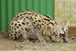 1-year-old serval Boomer eats a chicken in his enclosure at Savannah Exotics in Oakesdale, Wash., Wednesday, March 21, 2018.