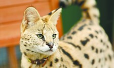 "Meet ""Boomer,"" an African serval living on Washington's Palouse prairie"