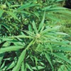 Readers respond to Nethercutt, cannabis clampdown