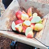 Tasty benefits, to enjoy and share, may be in store for those who nurture old-growth apple trees
