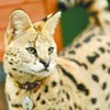 "Meet ""Boomer,"" an African serval living on Washington's Palouse prairie"