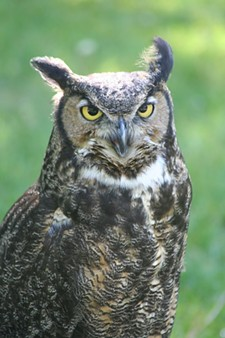 4e88d3d6_hanovi_great_horned_owl.jpg