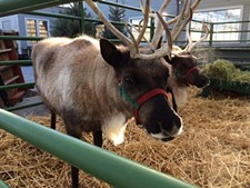 b4e4e70f_reindeer.jpg