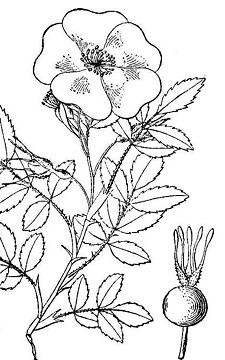 b07841f2_rosa_woodsii_usda_cropped.jpg