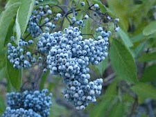 c366e97f_blue_elderberry.jpg