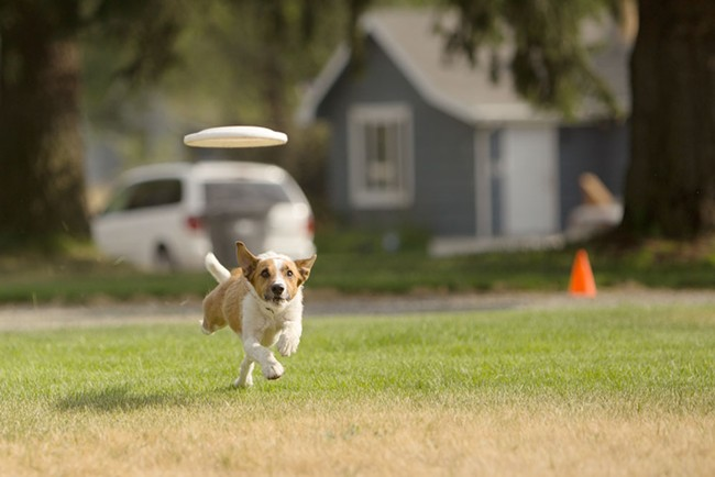 Walter, a Jack Russell Terrier-Border Collie mix, runs down a Frisbee during a demonstration. - YOUNG KWAK