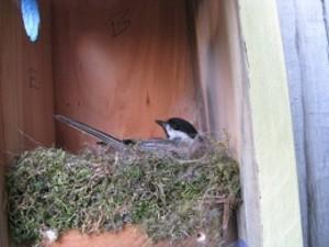 chickadee_nesting.1.jpg