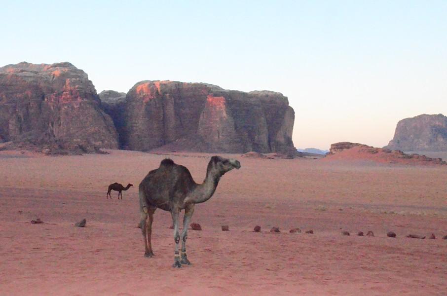 Camels in the north Arabian desert - JESSICA LARA TICKTIN