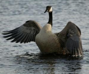 audubon_goose2.jpg