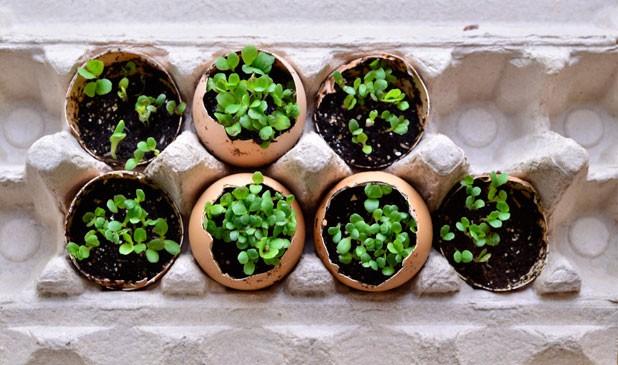 Gourmet lettuce greens seedlings