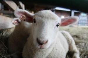 leaping_lambs.jpg