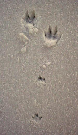 animal_tracks_in_snow.jpg