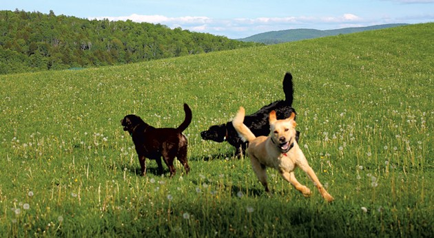Dogs playing on a grassy hill - JEFF NOVAK