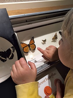 The butterfly exhibit at Fairbanks Museum - MEREDITH COEYMAN