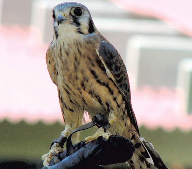 An American kestrel at VINS