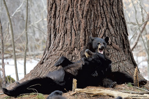 A mother bear plays with her yearling - COURTESY OF MARY HOLLAND