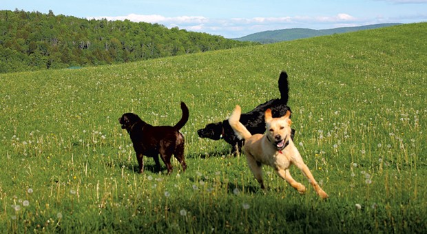Dogs playing on a grassy hill at Dog Mountain - JEFF NOVAK