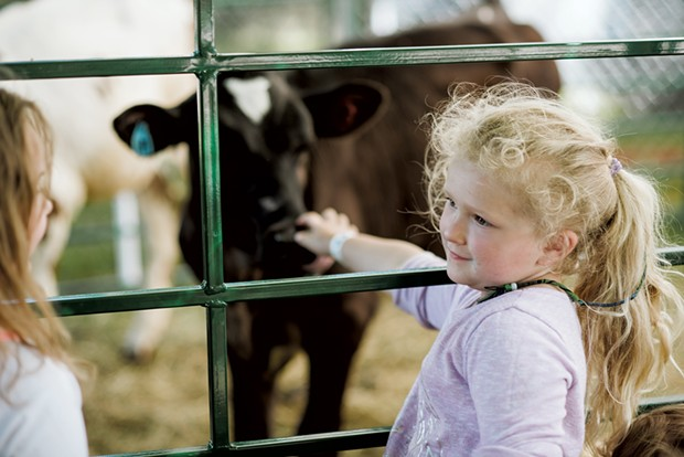 Maya Deneres, 4, of Redford, spends some time with the cute calves in the animal meeting area. - SAM SIMON