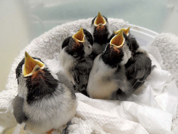 Black-capped chickadees being fed at VINS' wild bird rehabilitation center - COURTESY OF VINS