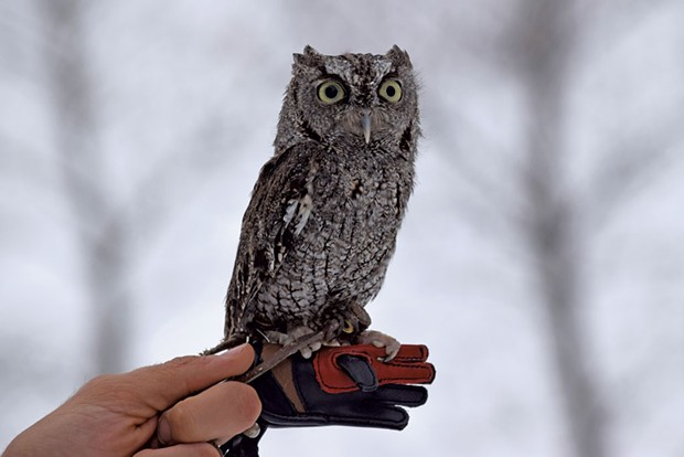 A screech owl at VINS - COURTESY OF VINS