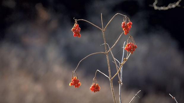 Highbush cranberry - COURTESY OF SEAN BECKETT