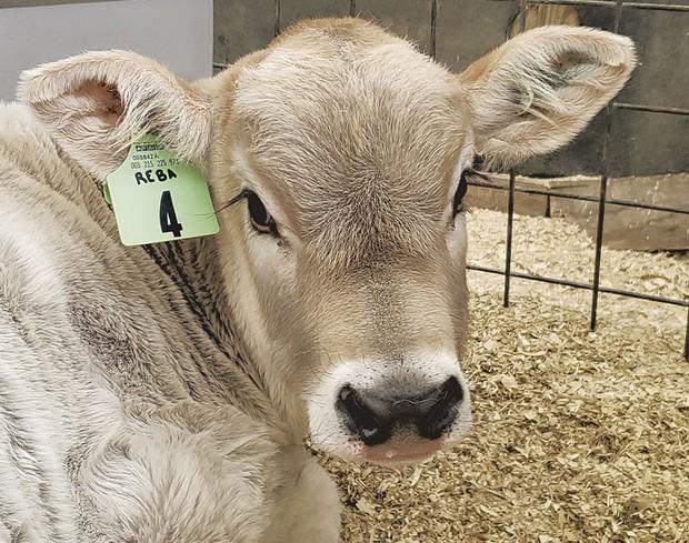 Reba the calf at Shelburne Farms - COURTESY OF SHELBURNE FARMS