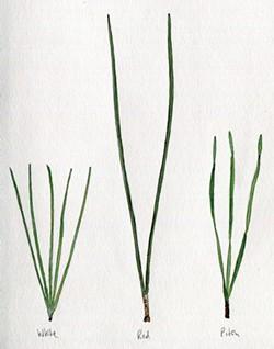 Pine varieties: White, Red, Pitch - JEANIE WILLIAMS