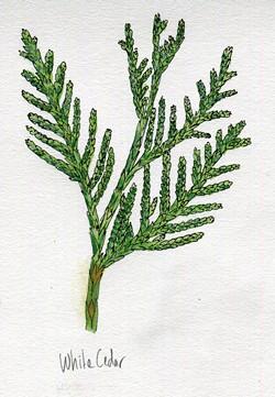 Northern white cedar - JEANIE WILLIAMS