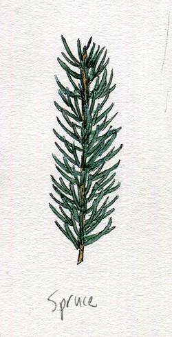 Spruce - JEANIE WILLIAMS
