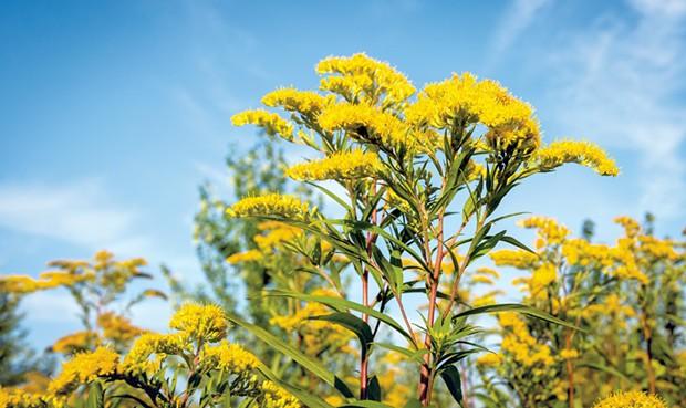 Yellow flowering goldenrod - © RUUD MORIJN   DREAMSTIME.COM