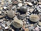 Spiny Softshell Turtle Nesting Beach Work Day