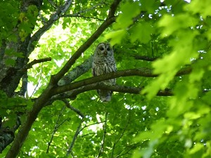 maple_sugarbush_bird_walk_barred_owl.jpg