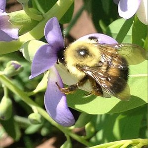 buzzing-with-vermonts-bees.jpg