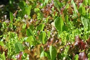salad_greens.jpg