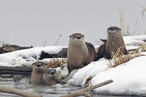 river_otter_winter_flickr_cc_kenny_bahr.jpg