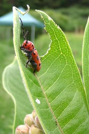 milkweed_insect.jpg