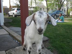 patti_goat.png