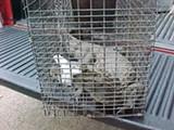 COURTESY ALAN ADAMS - A captured spectacled caiman crocodile